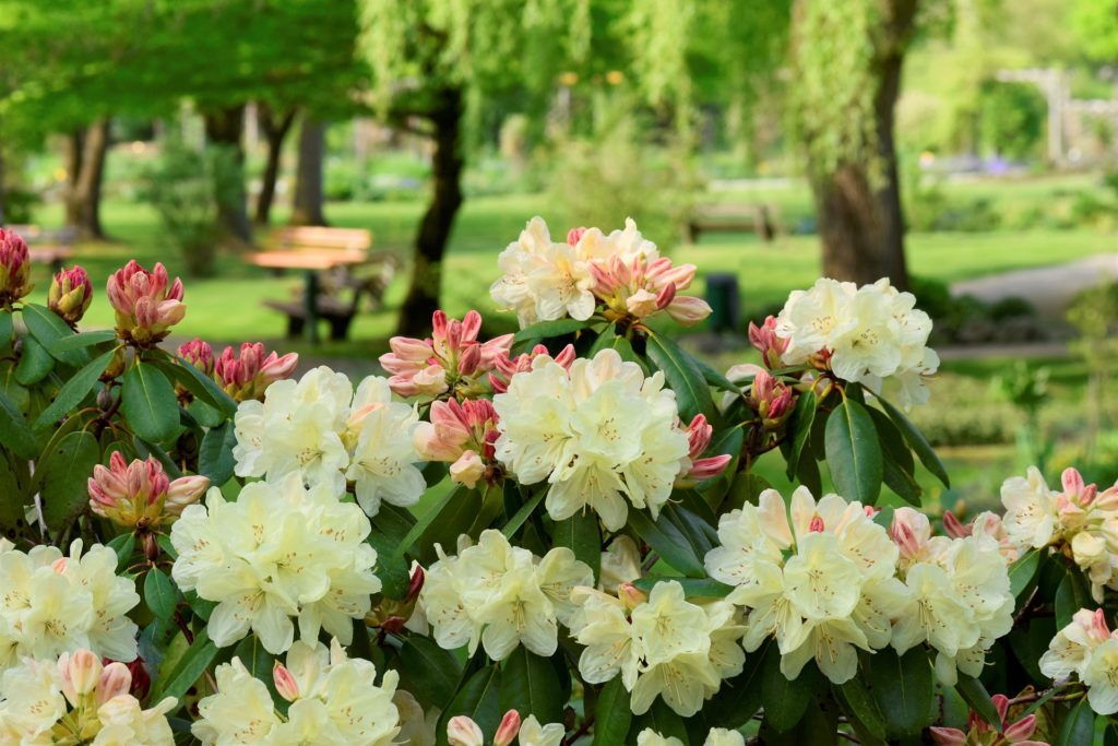 rhododendron-3383280_1920